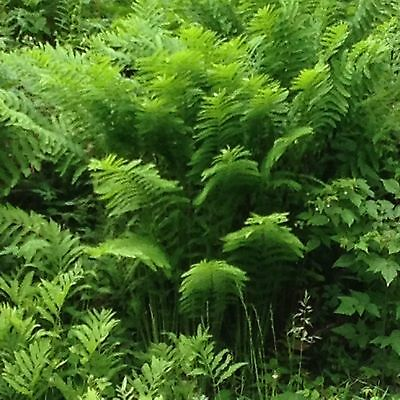 5 Pack Fern Spores Bundle Christmas, Cinnamon, Clivicola, Interrupted, & Red Lad
