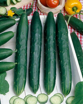 Vegetable  Cucumber Burpless F1  7 Seeds  Organic  **free Uk P&p**