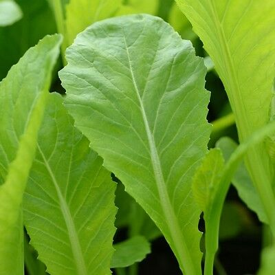 Vegetable  Chinese Mustard  Green In Snow  2 Gram ~ 1340 Seeds