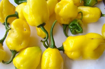 CHILLI 'Yellow Habanero' 15 seeds HEAT 10 SUPER HOT vegetable garden chili