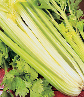 Celery - Golden Self Blanching  - 1Gm Seeds -  ** Free Uk P&p**