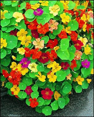 NASTURTIUM Mixed 20+ seeds garden EDIBLE hanging basket trailing HOT CLIMATES