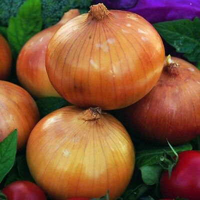 Vegetable  Onion Golden Bear F1 250 Seeds  White Rot Resistant