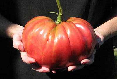 TOMATO 'Brandywine' 25+ seeds vegetable garden GIANT FRUITS heirloom heritage