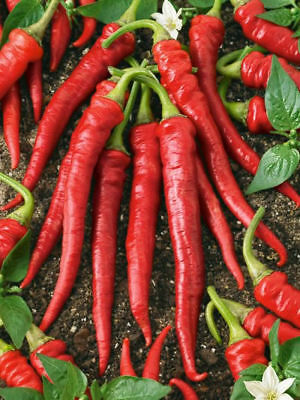 CHILLI 'Cayenne red' 25+ seeds heat - 8 vegetable garden hot chili pepper EASY