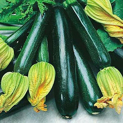 ZUCCHINI 'Black Beauty' 12 seeds ORGANIC vegetable garden easy BOONDIE SEEDS