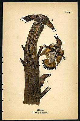 FLICKER, Vintage 1890 Chromolithograph, Color Bird Print Antique, 022