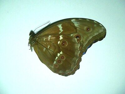 Morpho Didius M,  UNMOUNTED,  SIN MONTAR  A1   BUTTERFLY