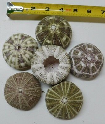 3 Beautiful  Alfonso Alphonso gator sea urchin display craft wedding decor