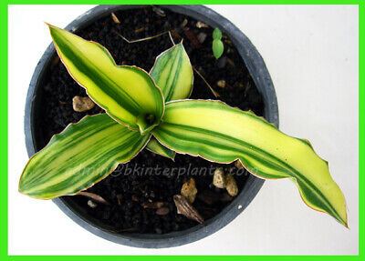 "Rare Sansevieria ""Aborance HYBRID YELLOW Variegated"" Very Beautiful+Free Phyto@@"