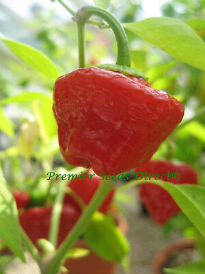 Organic Vegetable  Hot Chilli Pepper  Jamaican Red  60 Finest Seeds