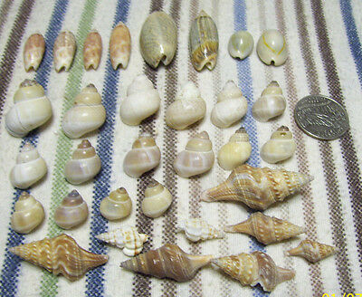 (35) craft or collectible sea shells cowry olives spindle & moon snails ceriths
