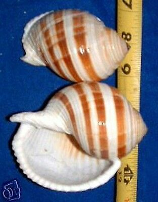 "1 REAL Tonna Selacosa  Sulcosa Shell 3"" +  XLARGE Hermit Crab Item # 1077-3-1"