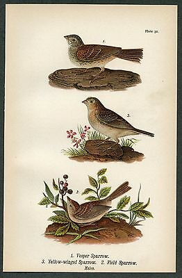 VESPER, FIELD SPARROW, Vintage 1890 Chromolithograph, Color Print, Antique, 032