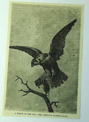1886 magazine engraving ~ PIRATE OF THE AIR- AMERICAN SPARROW-HAWK