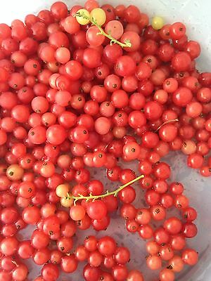 15 Cold Stratified Red Lake Currant Seeds