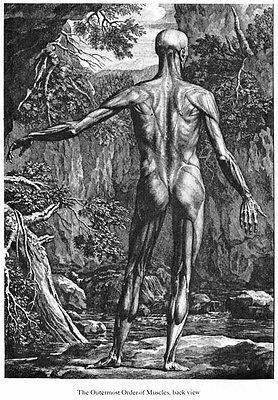 ML41 Vintage Medical Anatomical Human Back Muscles Da Cortona Poster A2//A3//A4