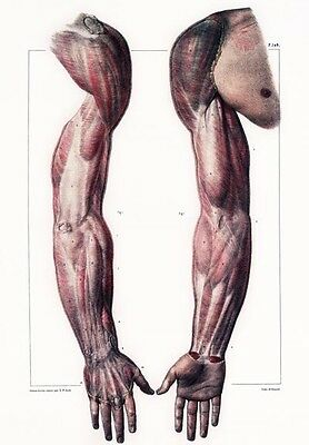 ML40 Vintage Medical Anatomical Illustration Muscles Man Albinus Poster A2//A3//A4