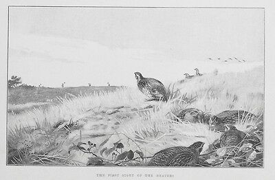 OLD ANTIQUE PRINT PARTRIDGE SHOOTING GAME BIRDS BEATERS by A THORBURN c1893