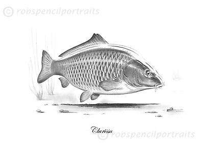 Clarissa the Carp From London Zoo and Redmire  Also known as Ravioli