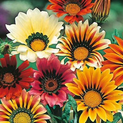 Gazania Splendens - Sunshine Mix - 130 High Quality Flower Seeds