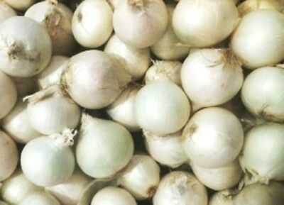 ONION 'Spanish White' 120+ seeds vegetable garden ITALIAN HEIRLOOM winter SWEET