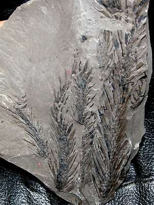 Beautiful fossil Lycopod plant  - Lepidodendron sp