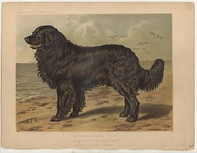 Newfoundland Chromolithograph, Cassell's Illustrated Book of the Dog, c. 1890