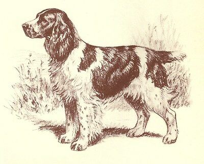 English Springer Spaniel - Vintage Dog Print - 1954 Megargee - Left Facing