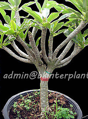 """NEW Plumeria with rooted """"China Great Wall"""" Very Amazing Plant Very RARE@@"""