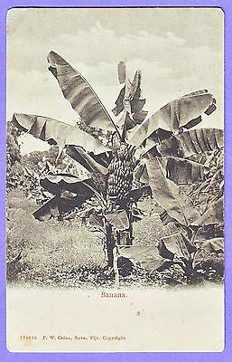 Fiji Banana Tree Postcard