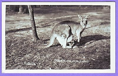 Australia Real Photo Kangaroo & Joey Postcard