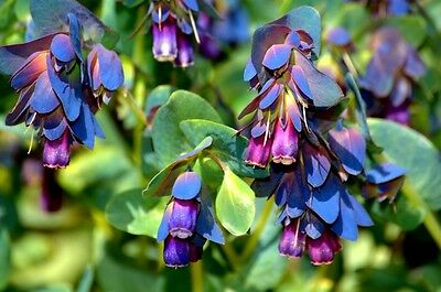 Flower Cerinthe Major Honeywort Blue Shrimp Plant 35 Finest Seeds