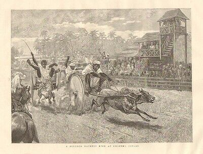 Sri Lanka, Ceylon, A Bullock Hackery Race At Colombo, Ceylon, 1887 Antique Print