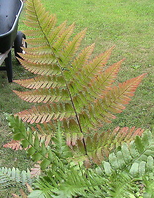 4 Pack Fern Spores Bundle Autumn, Cut Leaf, Rattlesnake, & Japanese Painted