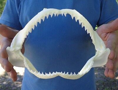 8 to 9 inch Spot Tail Shark jaw teeth mouth taxidermy predator (S)