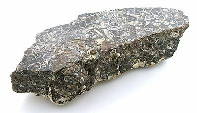 31.6 Grams THICK SLAB Arizona Turitella Fossil Cab Cabochon Gemstone Rough TS2