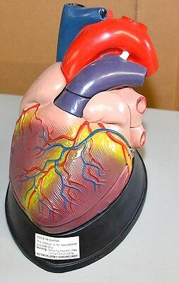 Large Sectional Medical Heart Model