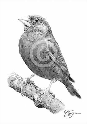 Bird GREENFINCH pencil drawing art print A4 / A3 signed by UK artist artwork