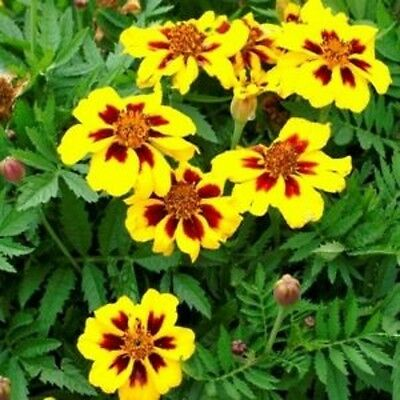 Flower Marigold Dwarf French Legion D'Onore  1000 Seeds