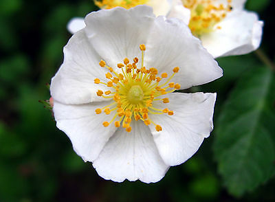 Rosa multiflora - Multiflora Rose - 50 Fresh Seeds