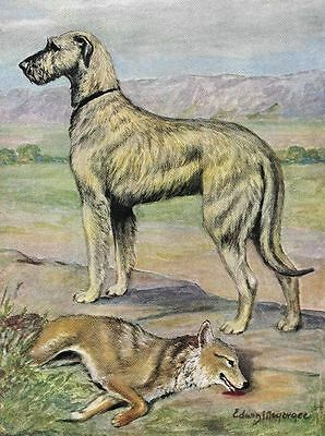 Irish Wolfhound - Vintage Color Dog Print - MATTED