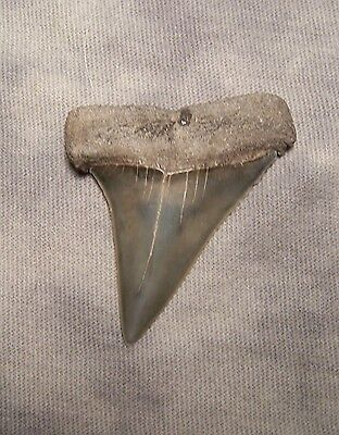 "1 7/8 "" Mako  Megalodon Shark Tooth Teeth Extinct Jaw Fossil Megladon"