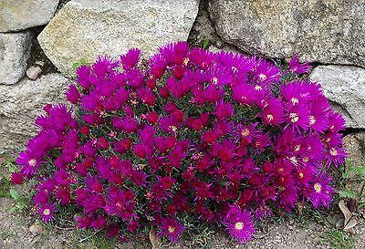 Lampranthus mixed species - Ice Plants - 25 Fresh Seeds