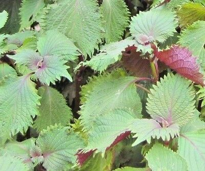 SHISO 'Bicolour' 100 seeds red green herb garden PERILLA culinary HERB beefsteak