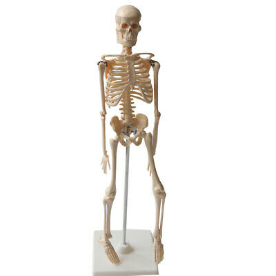 Human Anatomical Skeleton Model Removable And Movable Parts 45cm