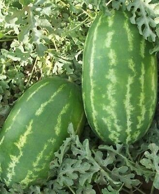 WATERMELON Jubilee 10 seeds HUGE fruit BUSH pots HEIRLOOM vegetable garden long