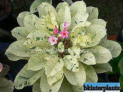 """RARE Plumeria with rooted """"Maya Variegated"""" White Beautiful Leaf+Free Phyto@@"""
