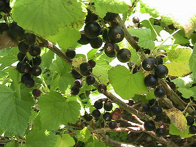 15 Consort Black Currant Seeds -Cold Stratified