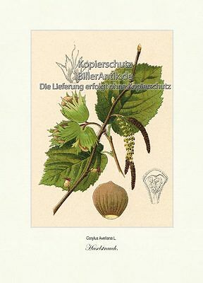 Haselstrauch Corylus Avellana Haselnussgewächse Betulaceae Vilmorin A4 388
